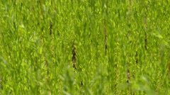 Flax, Linum usitatissimum Stock Footage