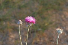 thistle flower and two buds - stock photo