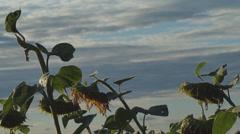A felled sunflower, Ukraine Stock Footage