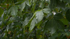 Dripping rain on the leaves of trees. Stock Footage