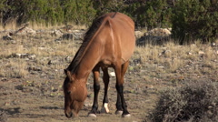 4K Wild Chestnut Mare Swishes Tail Stock Footage