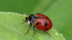 Ladybird on leaf slow mo Stock Footage