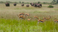 THOMSON'S GAZELLES ELEPHANTS KENYA AFRICA Stock Footage