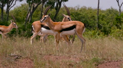 THOMSON'S GAZELLES MAASAI MARA KENYA AFRICA Stock Footage