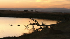 Lion and hippo at sunrise Stock Footage