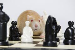 Rats and chess. Stock Photos