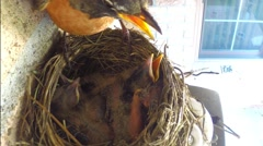 Mother robin watched over sleeping babies - one baby begs for food Stock Footage
