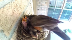 A robin cleans up the nest baby chicks open their mouths begging for food. Stock Footage