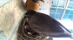 Mother and father robin watch over and clean babies in nest. Stock Footage