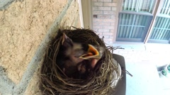 Baby robins in a nest fight over a worm. Stock Footage