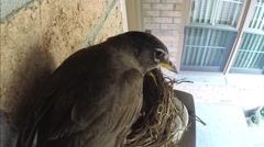 Father robin leaves nest as mother brings moth and greens for babies. Stock Footage