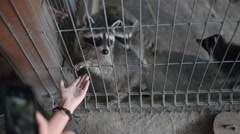 Raccoons in a zoo cage put a foot into the hands of people Stock Footage