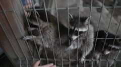 Raccoons in a zoo cage put a foot into the hands of people - stock footage