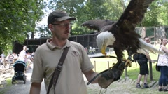 Bald eagle sits on a hand trainer Stock Footage