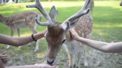 Visitors fed A Herd Of Dappled Deer at the Zoo Stock Footage