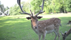 A Herd Of Dappled Deer at the Zoo Stock Footage