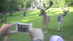 Visitors take photo via mobile phone A Herd Of Dappled Deer at the Zoo Stock Footage