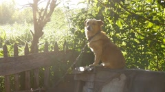Dog sitting on a chain in a box behind the sunlight green background slow motion Stock Footage