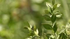 Ruscus aculeatus, known as butcher-broom Stock Footage