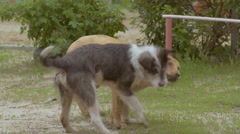 Two dogs frolic on the lawn slow motion video Stock Footage