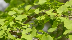 Ginkgo biloba, known as spelled gingko - stock footage