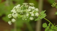 Conium maculatum (poison hemlock) Stock Footage