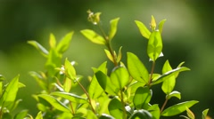 Myrtus communis or common myrtle Stock Footage