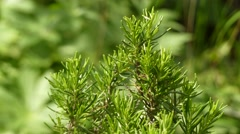 Rosmarinus officinalis, commonly known as rosemary Stock Footage