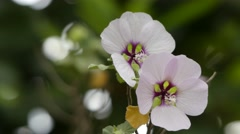 Lavatera maritima. Many Lavatera species have now been transferred to related Stock Footage