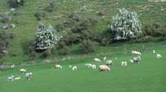 New Zealand sheep and white flowered trees Stock Footage