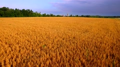 Fields of golden grain under moody north sky, low aerial view Stock Footage