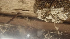 A Plurality of Tabby Wasps Crawl Over Honeycomb on Wooden Surface Closeup Stock Footage