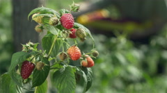Plant with raspberries on wind close up, picker collecting fruits in background. Stock Footage