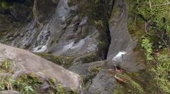 Male torrent duck (Merganetta armata) Stock Footage