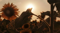Field of blooming sunflowers on a background sunset Stock Footage