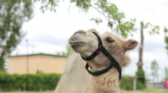 Camel face profile with decorative bridle in Agra, India Stock Footage
