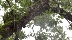 Tropical heavy rain with oak forest background. Include the original sound Stock Footage