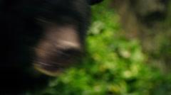 Bear Showing Stress - Animal Abuse Stock Footage