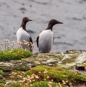 Guillimots on the isle of Lunga, Inner Hebrides, Scotland, UK Stock Photos