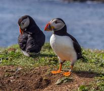 Atlantic puffins guarding their chicks in the nest on the isle of Lunga, Inne Stock Photos