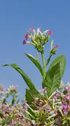 Tobacco plant flowers Kuvituskuvat