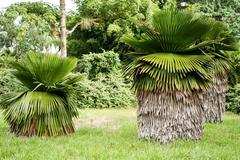 Young great Cuban Petticoat Palms Stock Photos