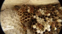 Striped Wasps Are Moving Over Honeycomb Closeup Stock Footage