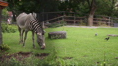 Zebra in Zoo Animal Stock Footage