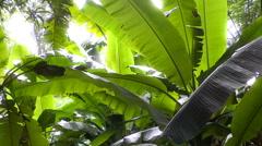 Jungle Rain and Banana leaves Stock Footage