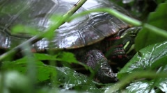 Midland painted turtle walks away in forest closeup Stock Footage