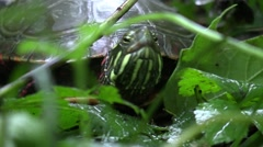 Midland painted turtle in forest closeup Stock Footage