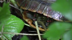 Midland painted turtle in forest closeup sticks hed out of shell Stock Footage