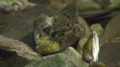 Crayfish trying to open fresh water clam on river bottom Stock Footage