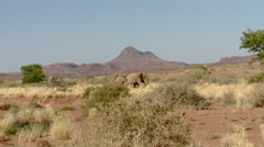 Parade of Elephants in Namib Desert Stock Footage